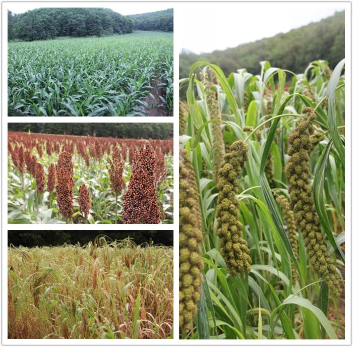 镜泊山谷里种植的玉米,高粱